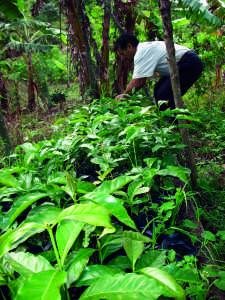 Fair Trade Coffee Vs. Free Trade Coffee